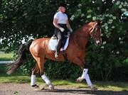 Hest til salg - CARAT V
