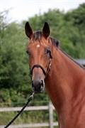 Hest til salg - Zabine