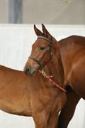 Hest til salg - FRANSISKA N