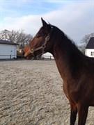 Hest til salg - Wanessa