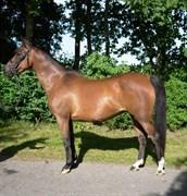 Hest til salg - BIBIANN