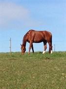 Hest til salg - PÆREGAARDS ROMARIO