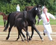 Hest til salg - NØRSKOVS DESIREE