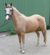 Hest til salg - Hochmoor's Moment Mal