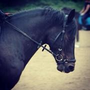 Hest til salg - VANGSGAARD'S CAESAR