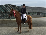 Hest til salg - HOLSTEINS GENTLEMAN