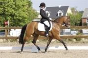 Hest til salg - NØRLUNDS KING ARTHUR