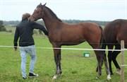Hest til salg - SEESCHWALBE MACOHL