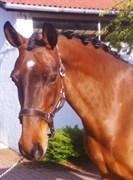 Hest til salg - Devita-Light