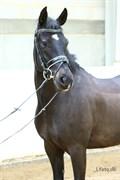 Hest til salg - ELMHOLTS VALENTINO
