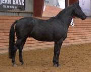 Hest til salg - BØGELYS LASANTA