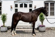 Hest til salg - SAFIAN´S CONAIR