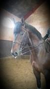 Hest til salg - LEMON V