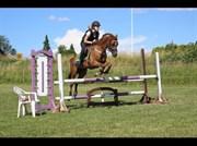 Hest til salg - Aladin