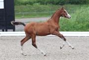Hest til salg - 404 - BALOUBET SEM