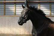 Hest til salg - KAMAR'S SUN NOIR HIT