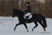 Hest til salg - BØGELYS TANGO
