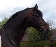 Hest til salg - CLARK V