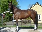 Hest til salg - LANGAGERS DOMILLE