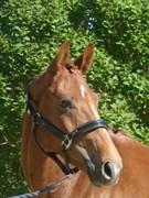 Hest til salg - LANGAGERS LE LOIR