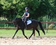 Hest til salg - REMONTES BLACK BEAUTY