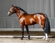 Hest til salg - Bob Beamon HS