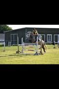 Hest til salg - GRIBSVADS MIDT NIGHT