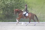 Hest til salg - Biscuit B