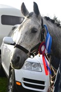 Hest til salg - CALIBRA