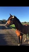 Hest til salg - RIVALDO