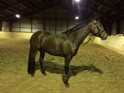 Hest til salg - SURELY A LADY