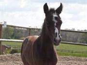 Hest til salg - Skærgårdens Epic Love