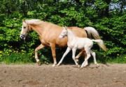 Hest til salg - SILVERLINE ALABAMA