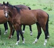 Hest til salg - VIDTSKUE'S KRØSUS