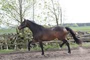 Hest til salg - HØJVANGS SASLINE