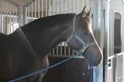 Hest til salg - GRAVGAARD'S PARI-MOONLIGHT