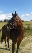 Hest til salg - POSEIDON