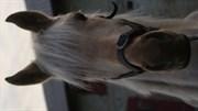 Hest til salg - Hemmeshøjgårds Juvel