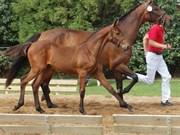 Hest til salg - BARTOLI ROW