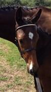 Hest til salg - FALCON