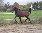 Hest til salg - SAFIAN'S SONDII