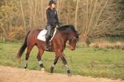 Hest til salg - DONNA SUMMER BOESGAARD