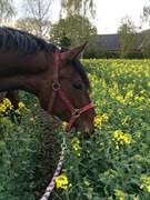 Hest til salg - LUNDENS SAFIRA