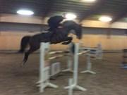 Hest til salg - CAESAR