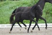 Hest til salg - 408 - HEILINE'S DIVA ROMANCE