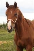 Hest til salg - VIDTSKUE'S GEISHA
