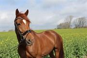 Hest til salg - HALIFAX