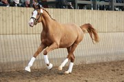 Hest til salg - ROOSEVELT