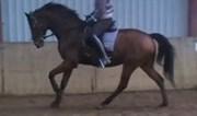 Hest til salg - SIXLANDO