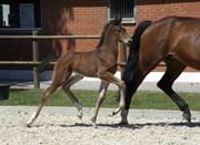 Hest til salg - RGS Alba Ambition